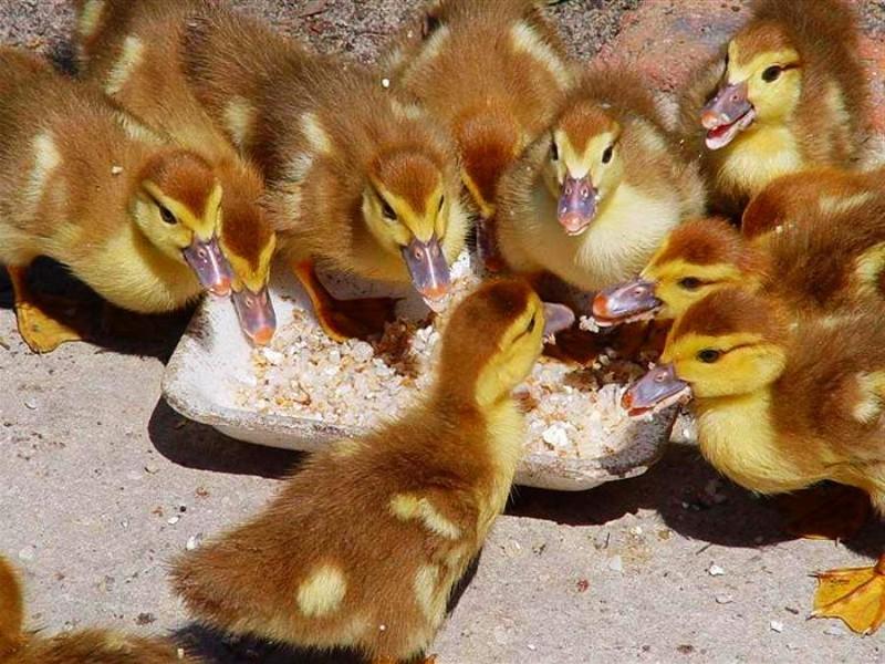 Утки едят из кормушки