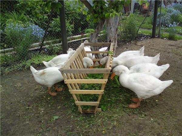 Домашние гуси едят зелень из кормушки