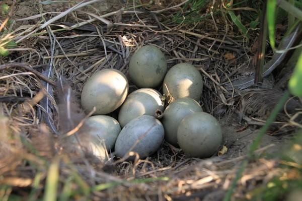 Гнездо фазана с яйцами