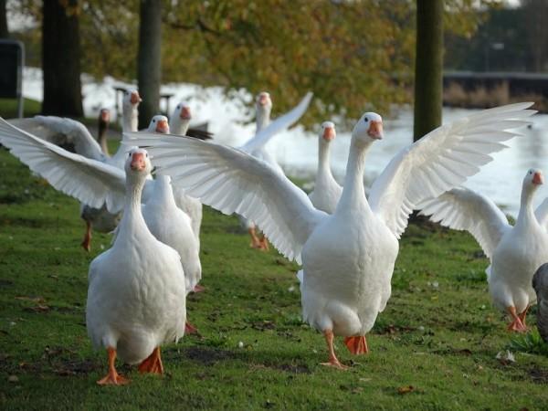 Группа Эмденских гусей