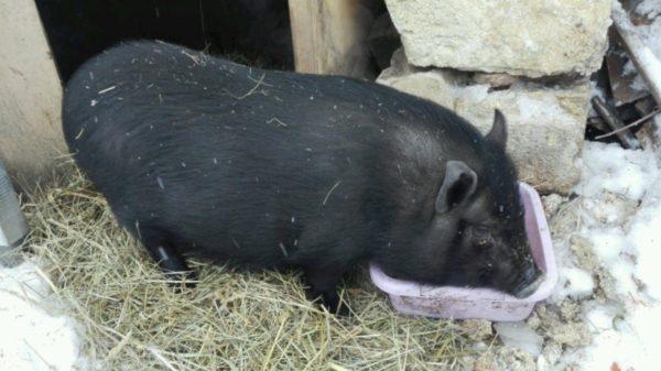 Свинка во время приема пищи