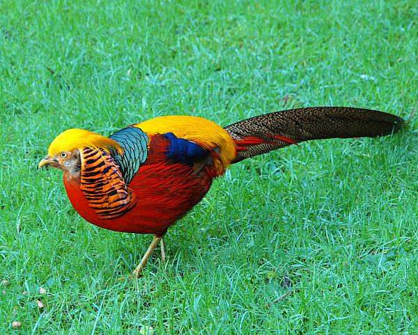 Самец Золотого фазана осторожно крадется