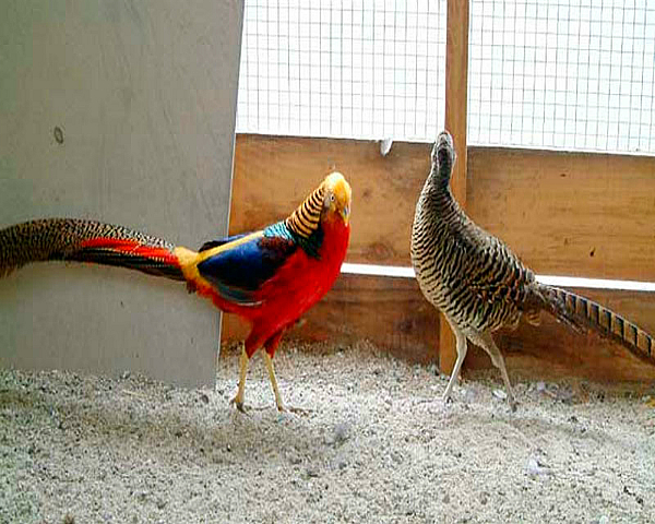 Самец Золотого фазана ухаживает за самкой