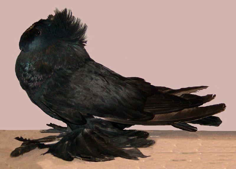Бухарский голубь в профиль