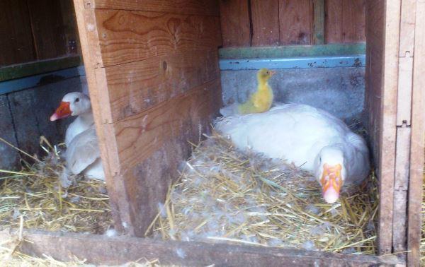 Гусыни сидят в своих гнездах