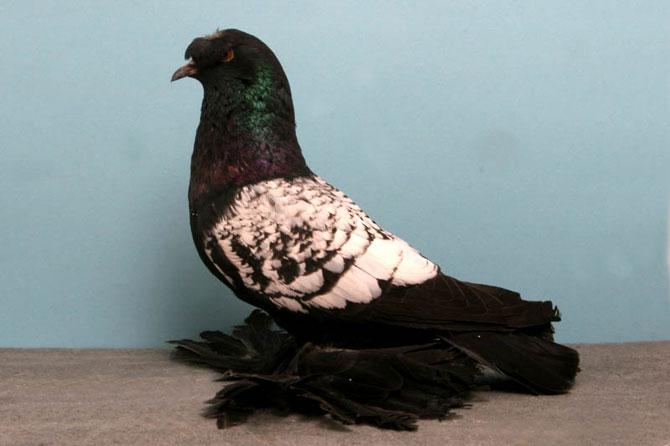 Германский выставочный голубь в профиль