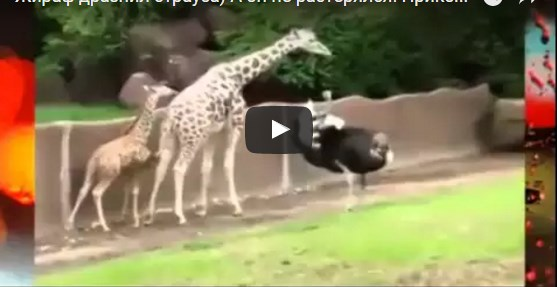 Жираф дразнит страуса