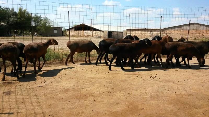 Стадо овец на выгуле