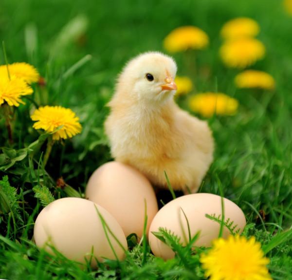 Цыпленок на яйца в одуванчиках