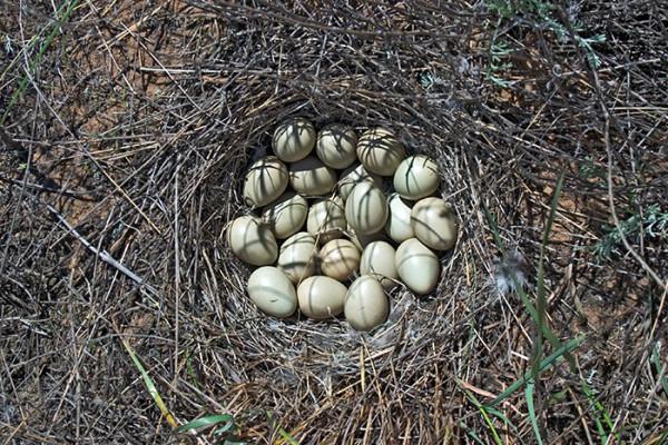 Яйца серой куропатки