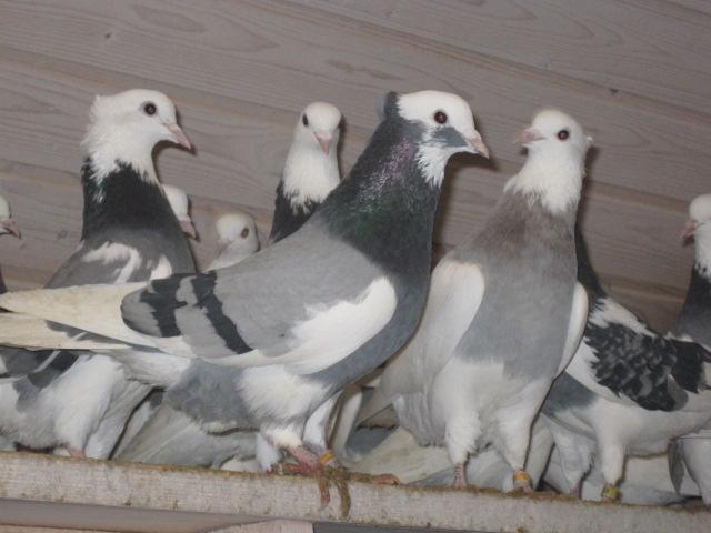 Голуби сидят на насестах