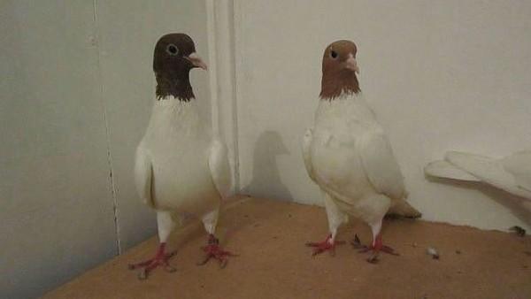 Два Головатых голубя