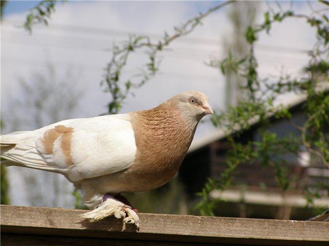 Пернатый породы туркменский агаран сидит на заборе
