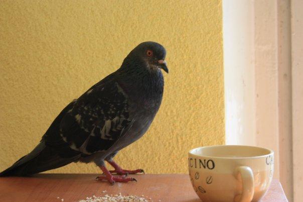 Голубь сидит рядом с чашкой