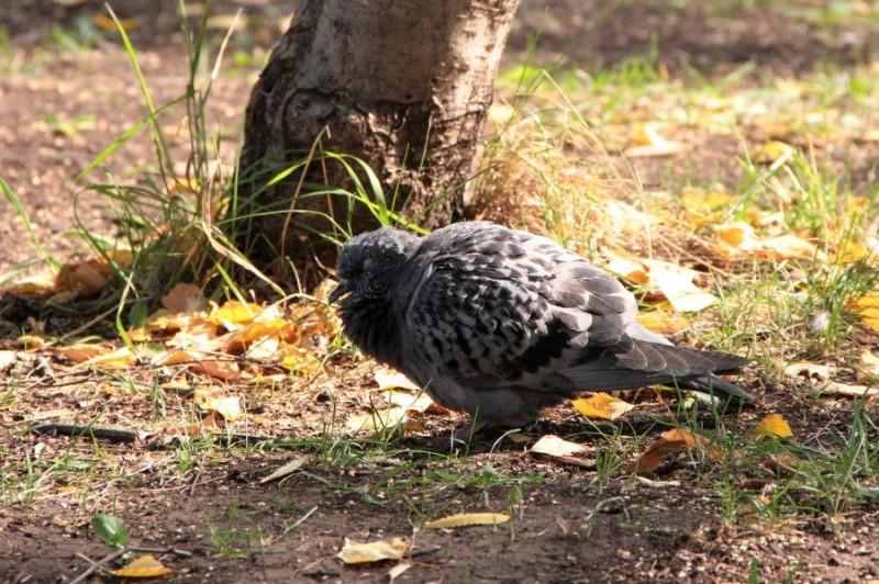 Нахохлившийся голубь возле дерева