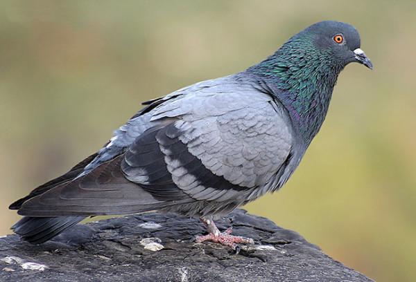 Типичный городской сизый голубь