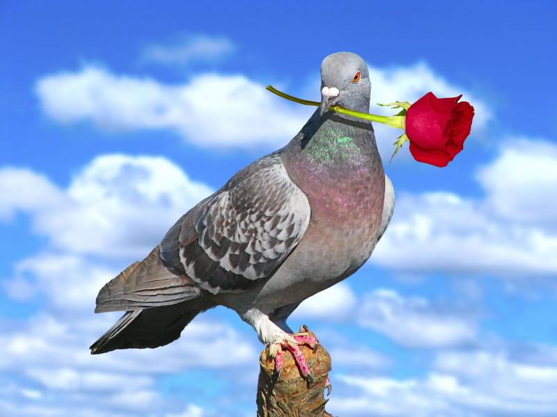 Сизый голубь с розой в клюве