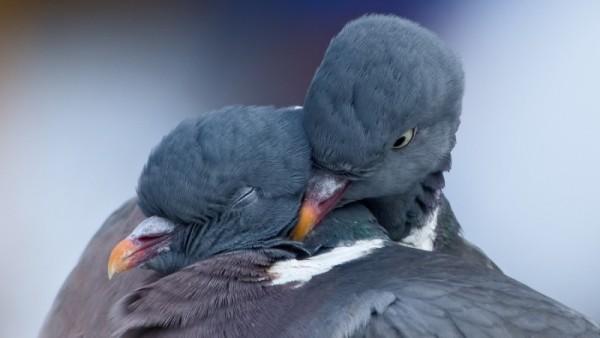 Голубь с голубкой обнимаются