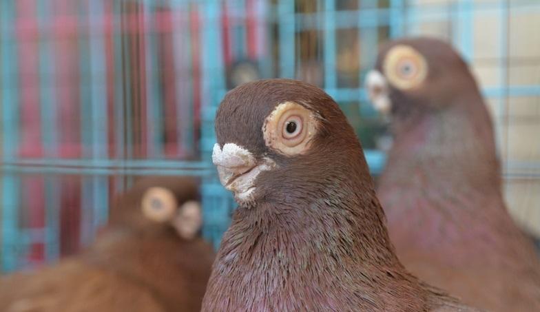 Голуби коричневого окраса