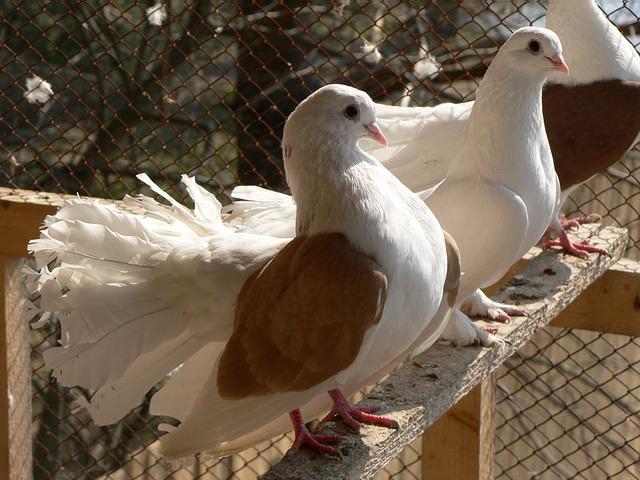 Голуби сидят на жердочке