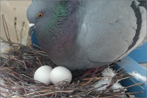Голубка возле своей кладки