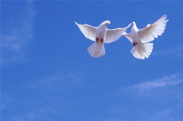 Два голубя в полете