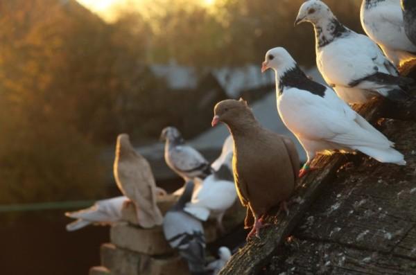 Разномастные спортивные голуби на крыше
