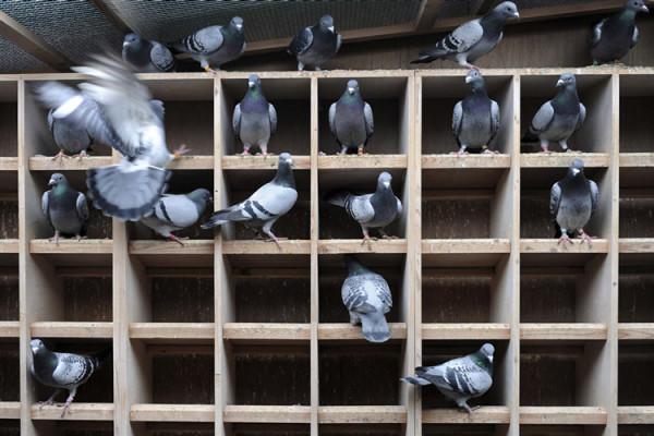 Домашняя голубятня