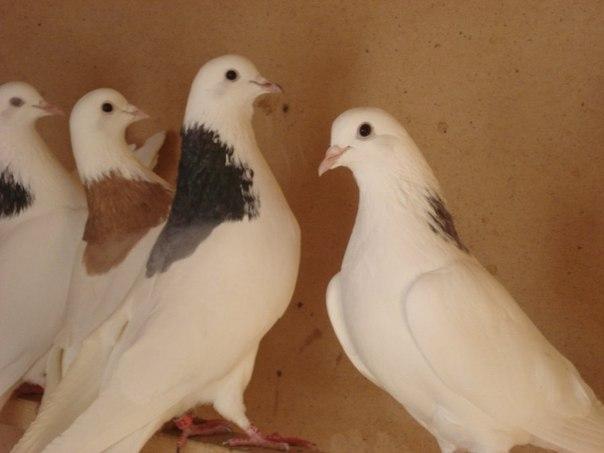 Голуби Гривуны в голубятне