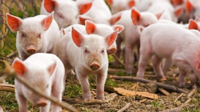Группа свинок на выгуле