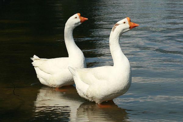Два гуся плывут