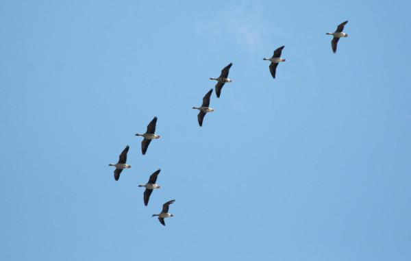 Гуси летят клином