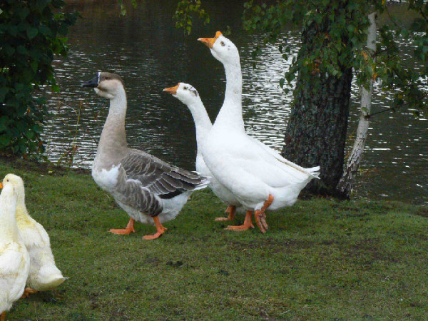 Породистые гуси на прогулке