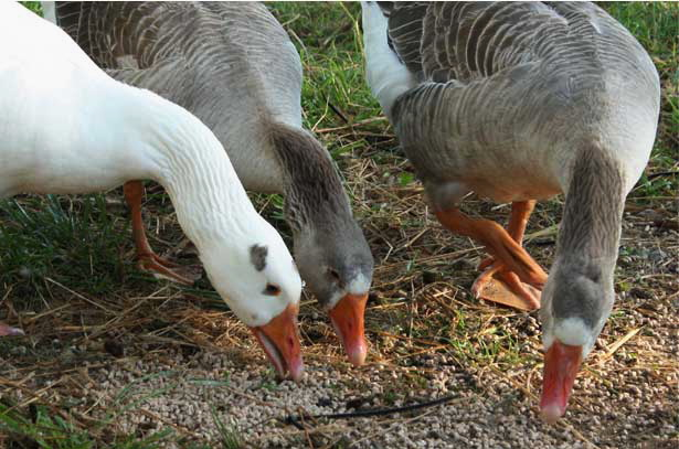 Серые гуси едят комбикорм