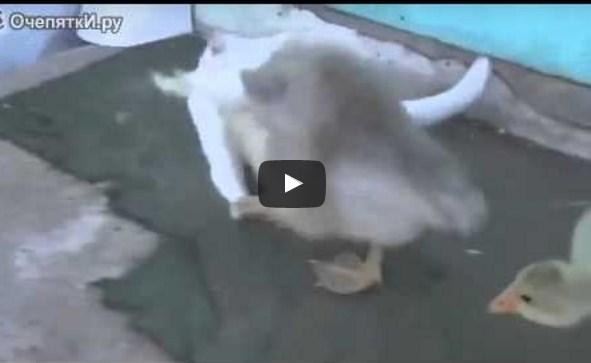 Гуси играют с котом
