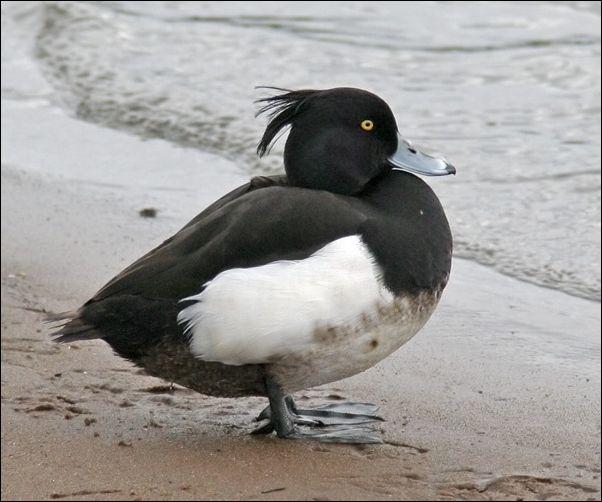 Утка Хохлатая чернеть возле моря