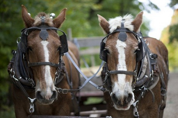 Пара коней в запряжке