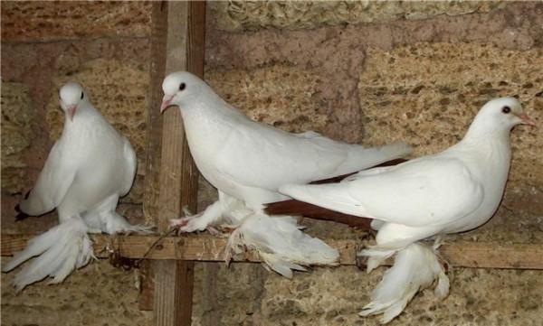 Белые Игровые птицы на насесте