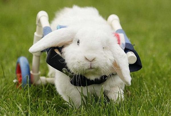 Белый кролик на инвалидном кресле