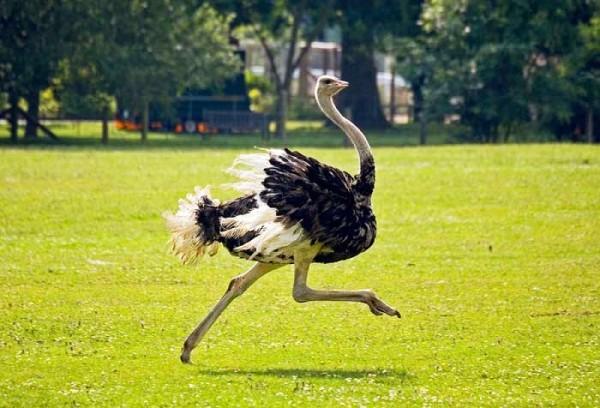 Страус бежит по газону
