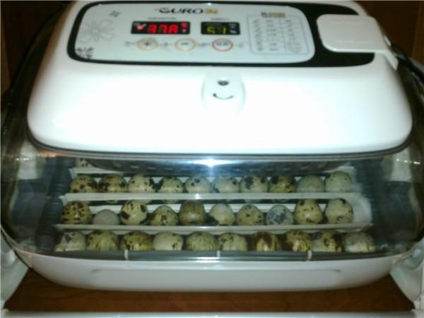 Включенный электронный инкубатор с яйцами
