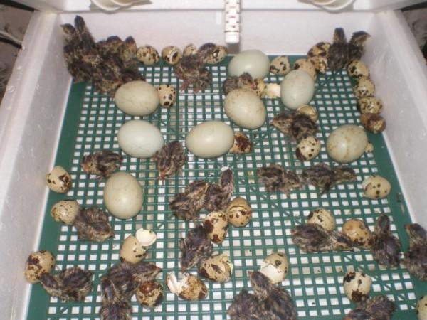 Яйца перепелок в инкубаторе, где уже вылупляется потомство