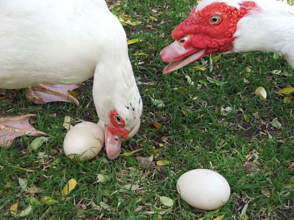 Мускусные утки собирают яйца для высиживания
