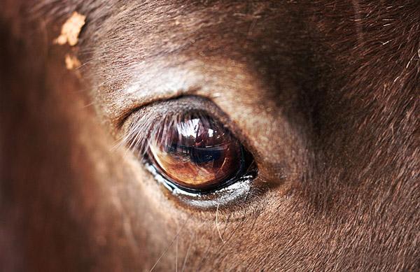 Глаз лошади крупным планом
