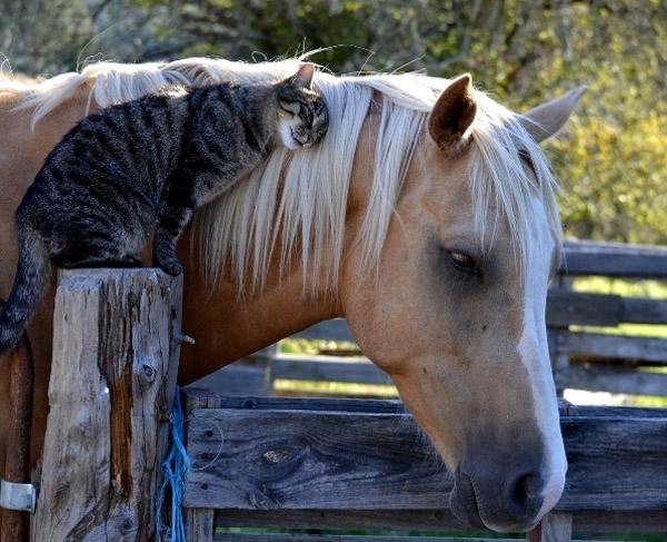 Спокойный конь и довольная кошка