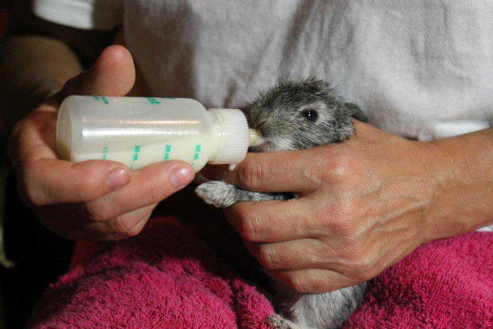 Искусственное вскармливание кролика