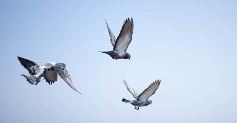 Три спортивных голубя в полете