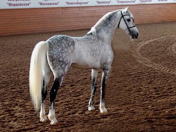 Русская рысистая лошадь в манеже