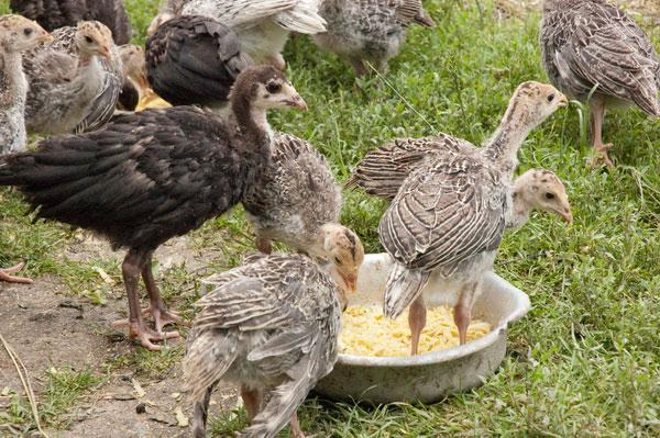 Подросшие птенцы на улице