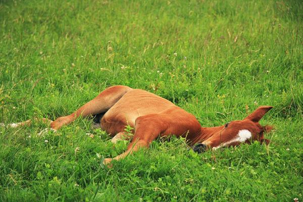 Маленький жеребенок спит в траве